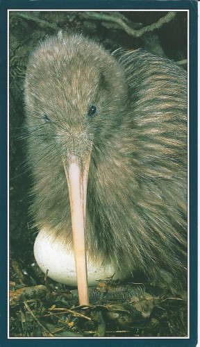Brown kiwi, New Zealand.jpg