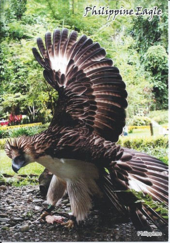 The endangered philippine eagle (pithecophagajajefferyi), Phili.jpg